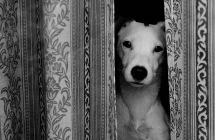 dog peeking through curtains